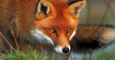 Τμήμα Κτηνιατρικής ΠΕ Κοζάνης: Συνεχίζεται η εκστρατεία εμβολιασμού των κόκκινων Αλεπούδων κατά της Λύσσας.